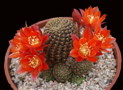 piante grasse fiorite da esterno piante grasse fiorite piante grasse tipologie di