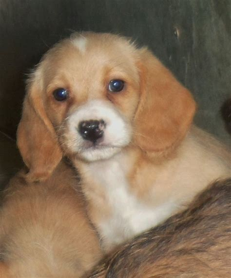 poogle puppies poogle puppies beagle x poodle parents kc spilsby lincolnshire pets4homes