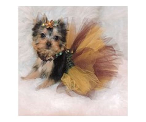 yorkie puppies for sale in charleston sc terrier yorkie puppies for sale now animals mount pleasant south