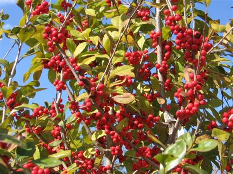 what deciduous tree has berries in winter 19 best small trees images on small trees shrub and shrubs