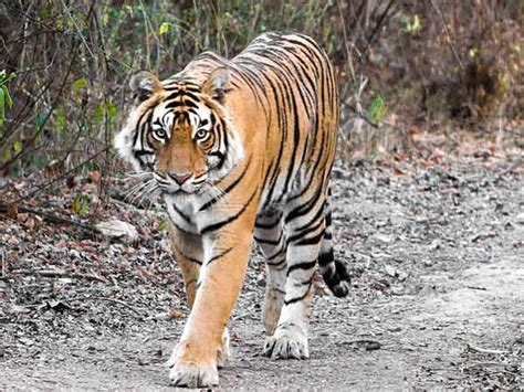 Animal Indian national animal of india indian national animal indian