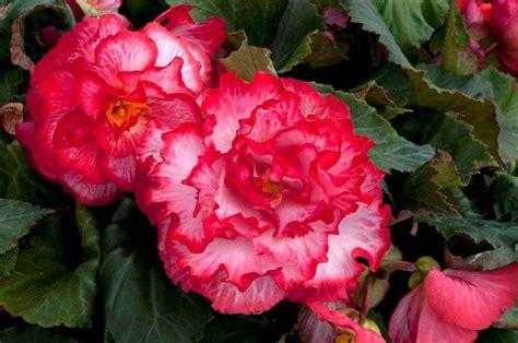 begonias 171 blog mr fothergills co uk