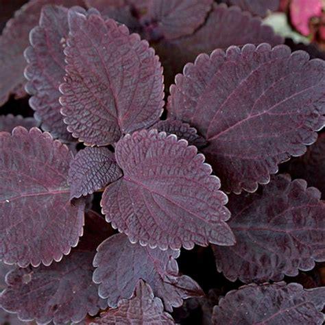 khasiat daun tanaman iler sebagai obat tradisional