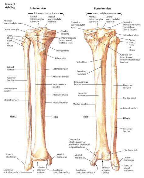 diagram of the anatomy tibia fibula anatomy human anatomy diagram