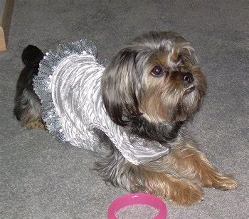 silky terrier x shih tzu silky tzu shih tzu x silky terrier mix info temperament puppies pictures