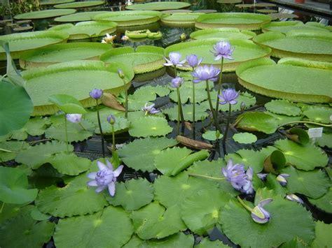 botanischer garten berlin seerosen tropische seerosen in einem becken im botanischen garten