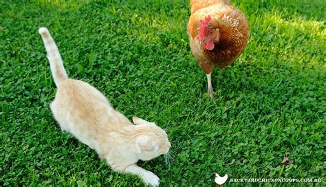 Backyard Chickens And Cats Keeping Cats And Chickens Together