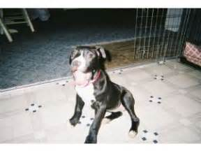 pitbull puppies for sale in ky pit bull puppies for sale louisville ky pennysaverusa breeds picture
