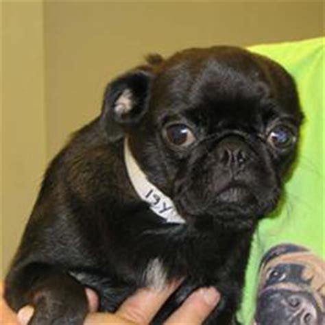 pug rescues in ohio ohio pug rescue inc