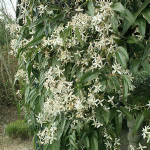 Fast Climbing Evergreen Plants - clematis armandii evergreen clematis information pictures amp cultivation tips