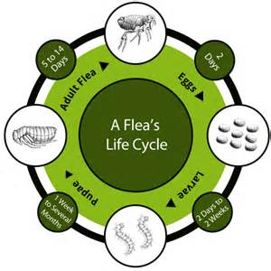 Fleas In Sofa The Unfortunate Facts About Fleas 171 Pet Care Veterinary