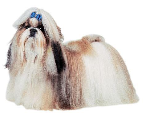 shitsu poodle with long hair shih tzu dog breeds at mypetsmart com