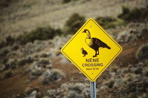 Nene Cant Pronounce Accolades | getting beaky with hawaii s favorite bird roberts hawaii