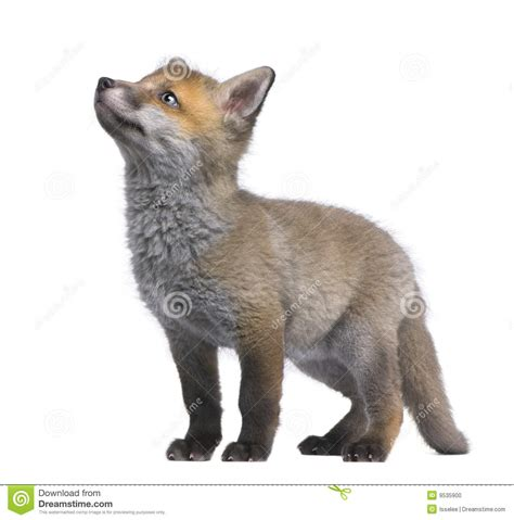 fox looking fox cub looking up 6 weeks vulpes vulpe stock photo image 9535900