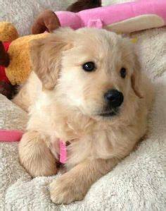 are golden retriever puppies hyper 1000 images about golden retriever on golden retrievers golden