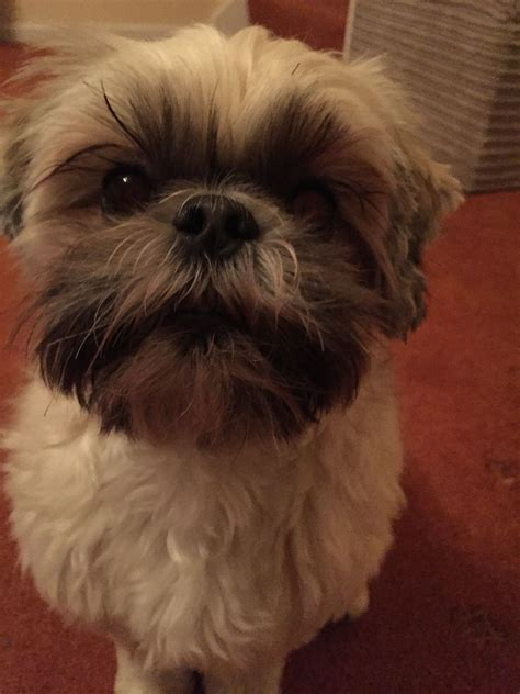 shih tzu needs shih tzu needs new home coalville leicestershire pets4homes