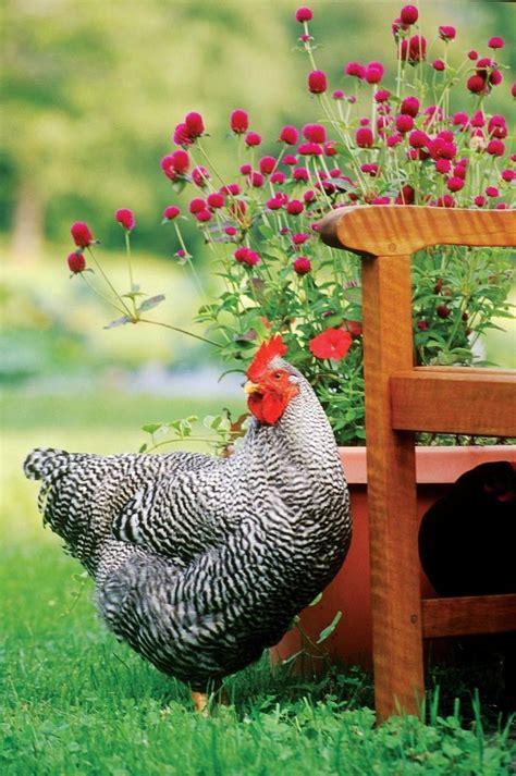 backyard chickens and flies best 25 chicken pictures ideas on pinterest chicken