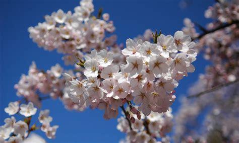 varieties of cherry blossom japan monthly web magazine