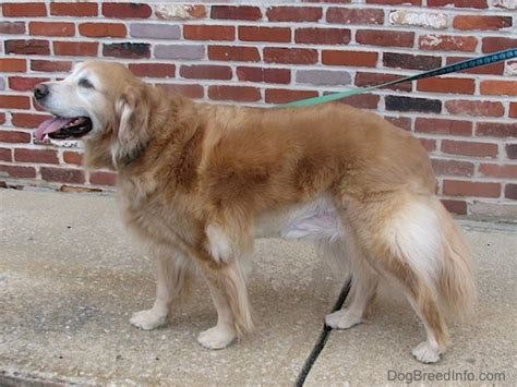 10 year golden retriever golden retriever breed information and pictures