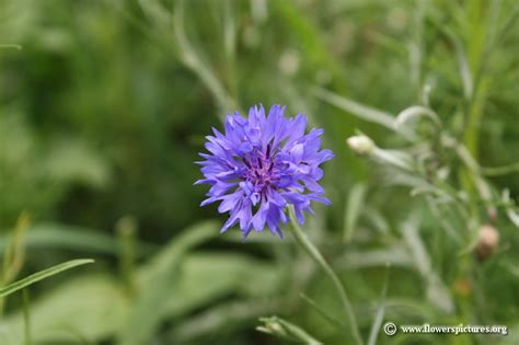 flower pictures cornflower picture 19
