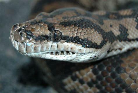 python heat l inland carpet pythons at aar