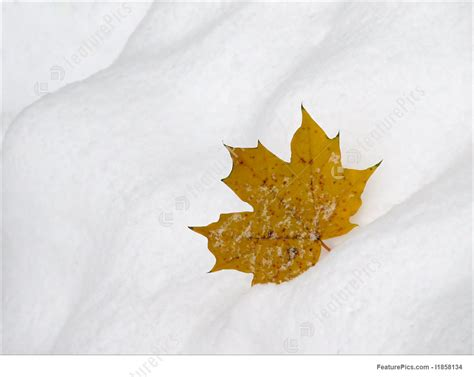 snow on maple leaves cooke leaf on snow stock image i1858134 at featurepics