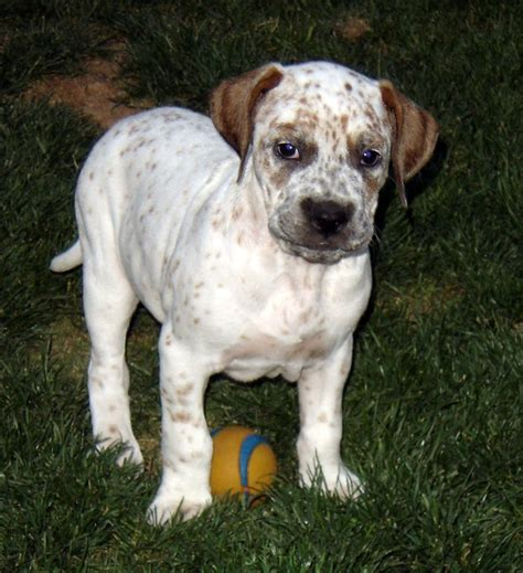american bulldog mix puppies american bulldog lab mix for sale breeds picture