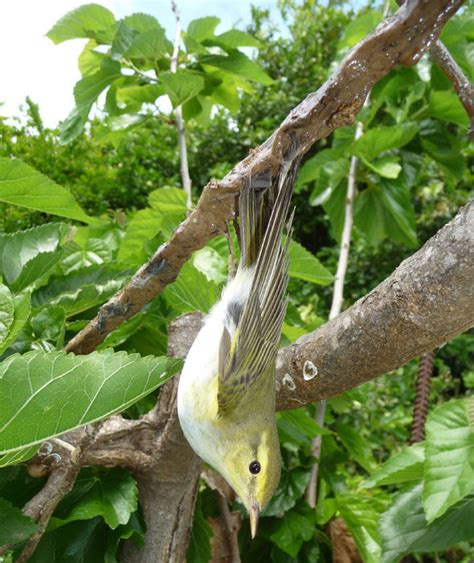 wood warbler limestick cyprus cabs shocking bird