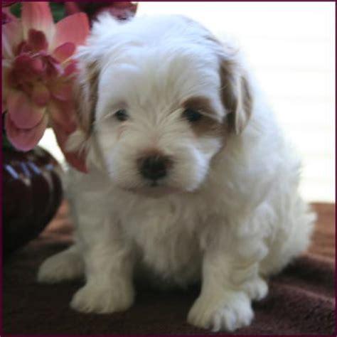 rolling puppies maltipoo puppies 4 sale maltepoo maltese poodle puppies