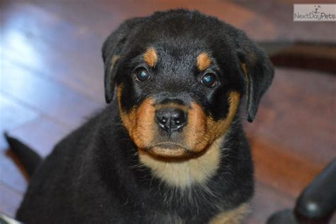 rottweiler puppies for sale in los angeles rottweiler puppies for sale los angeles california breeds picture