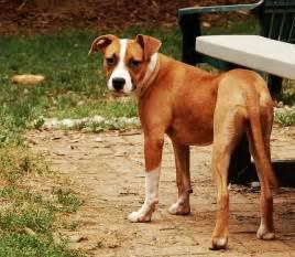 Adopt kitzma the boxer pit bull mix by rob swatski via flickr
