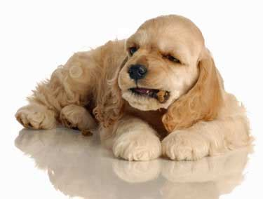 when to start feeding puppies puppy care tips advice to help you raise happy a spaniel