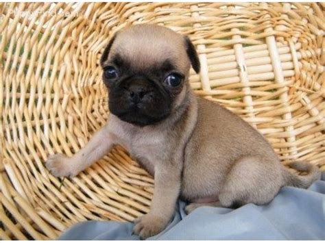 free pug puppies 1000 ideas about pug puppies for adoption on