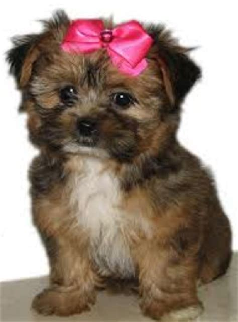 when can i bathe my shih tzu puppy learn about the shih tzu yorkie mix aka shorkie