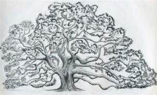 Oak Tree Drawing Oak Tree Drawing Images Amp Pictures Becuo