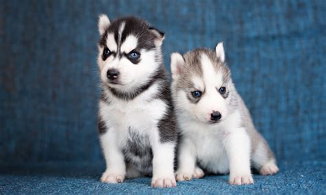 husky puppies for sale in va golden siberian husky puppies for adoption