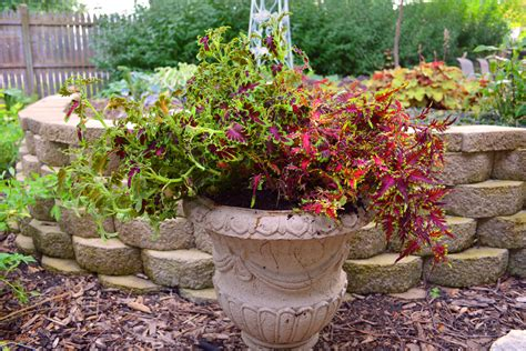 container gardening pictures coleus in a container gardening