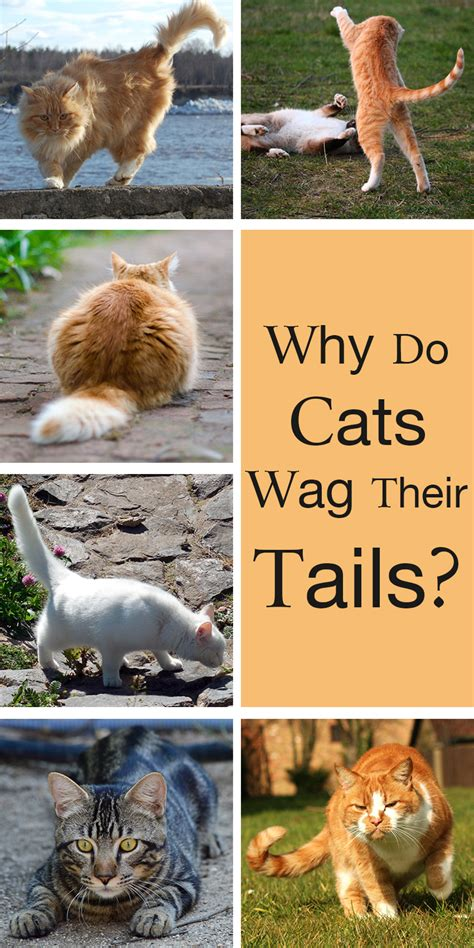 does a wagging a is happy why do cats wag their tails a guide to cat language