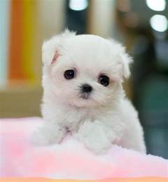 Miniature poodle dog photos doglers