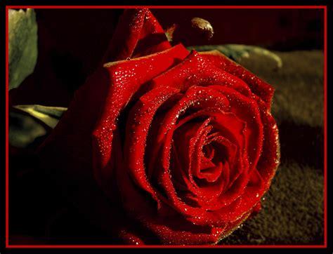 imagenes bonitas rosas rojas imagenes de rosas rojas con frases imagui