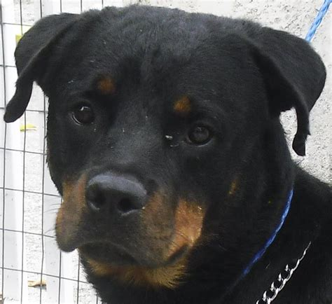 rottweiler rescue in florida rottweiler rescue in south florida rottweiler rescue new pets world