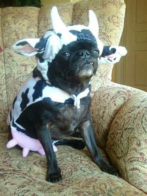 cows sitting like dogs it s friday so celebrate with these 10 cows sitting like dogs the poke