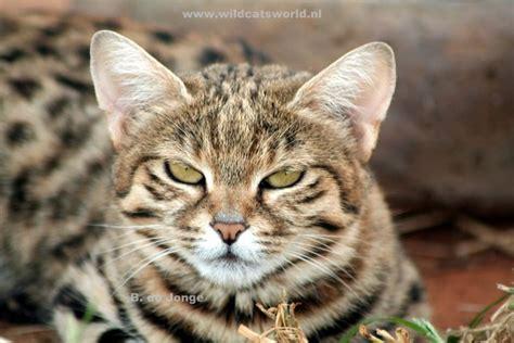 black footed cat felis nigripes wild cats magazine