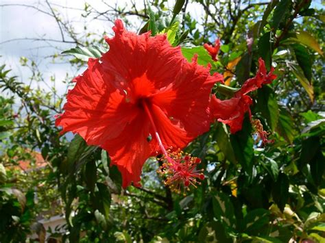 red hibiscus flowers  jamaica flickr photo sharing