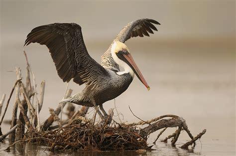 Vigel Pelicin pelikan forum f 252 r naturfotografen