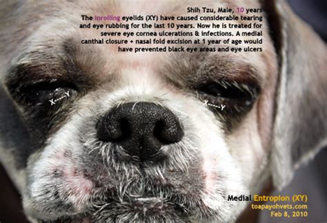 shih tzu eye infection 031028singapore shar pei entropion cherry eye corneal ulcer water bags silkie shih