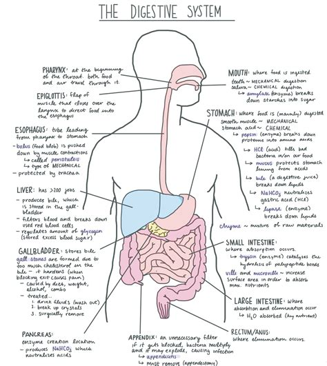 labeled digestive system diagram digestive system diagram