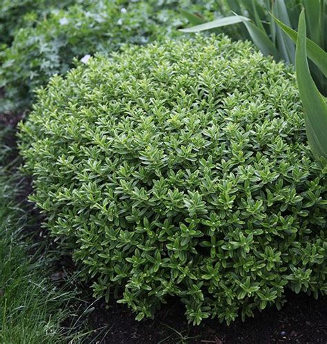 partial sun flowering shrubs 51 best images about woodland plants shrubs and herbacious