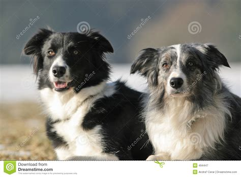 border collie puppies idaho 2 border collies royalty free stock photography image 494447