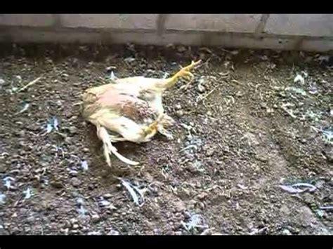 imagenes impactantes de muertos pollos muertos por el chupacabra youtube